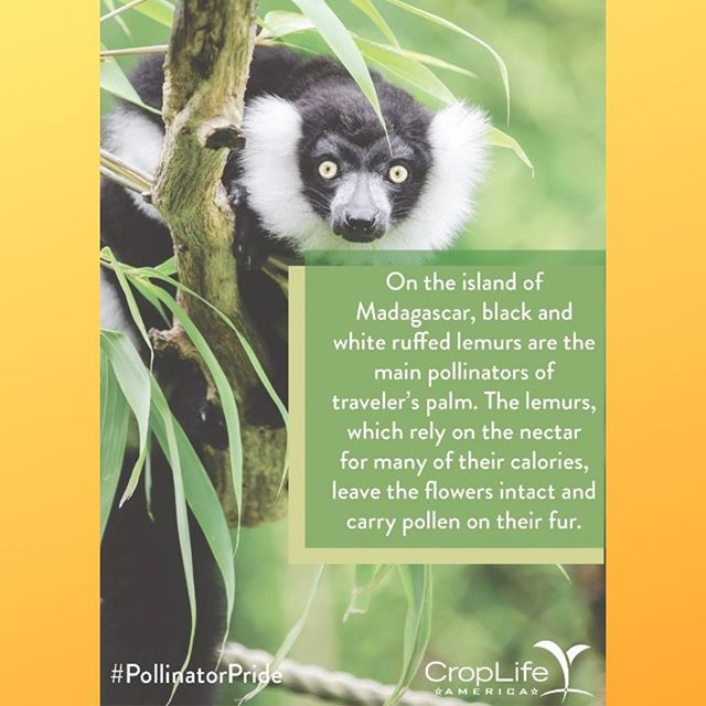Many pollinators have very specific duties and areas of expertise, like Madagascar's black and white ruffed lemurs!