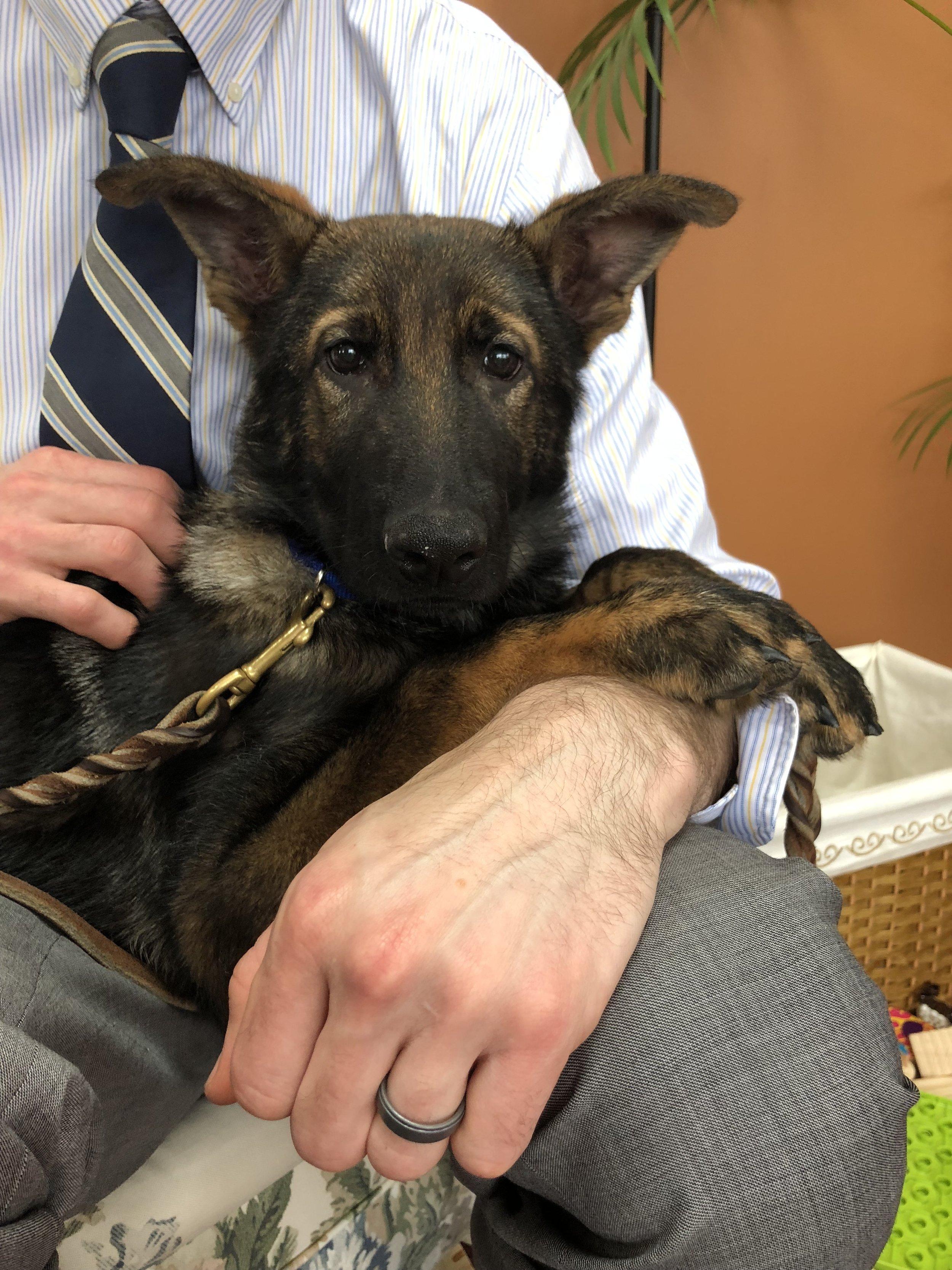 Matt Spilka's (North Haven, CT)three month old fostered German Shepard.