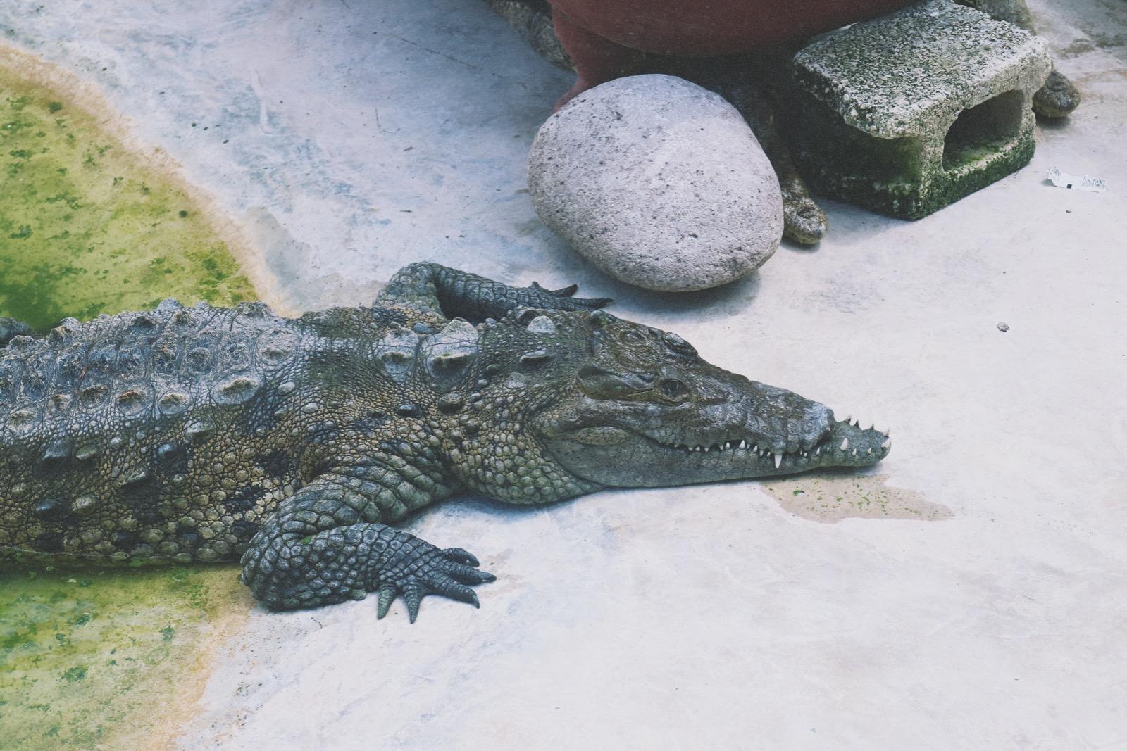 black river cruise crocodile