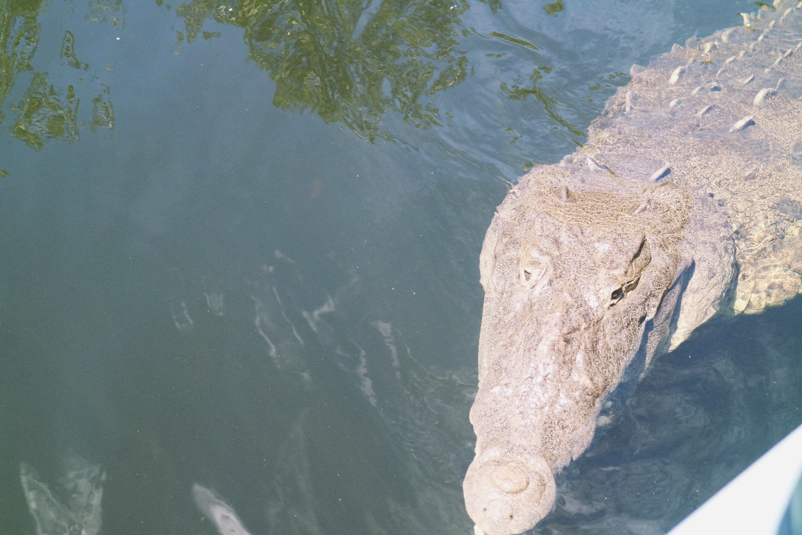 black river water cruise jamaica crocodile