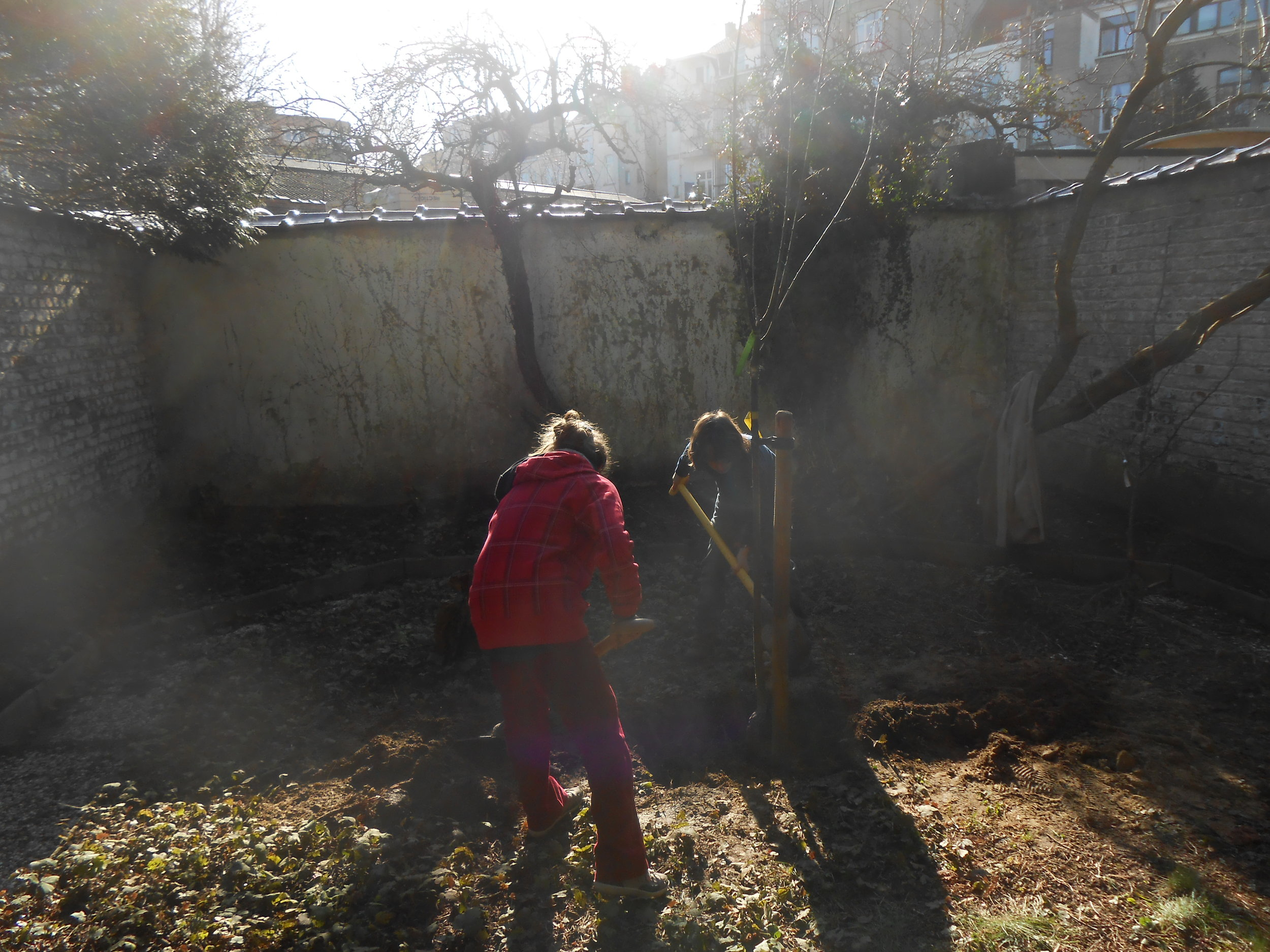 Plantation d'un prunier demi-tige