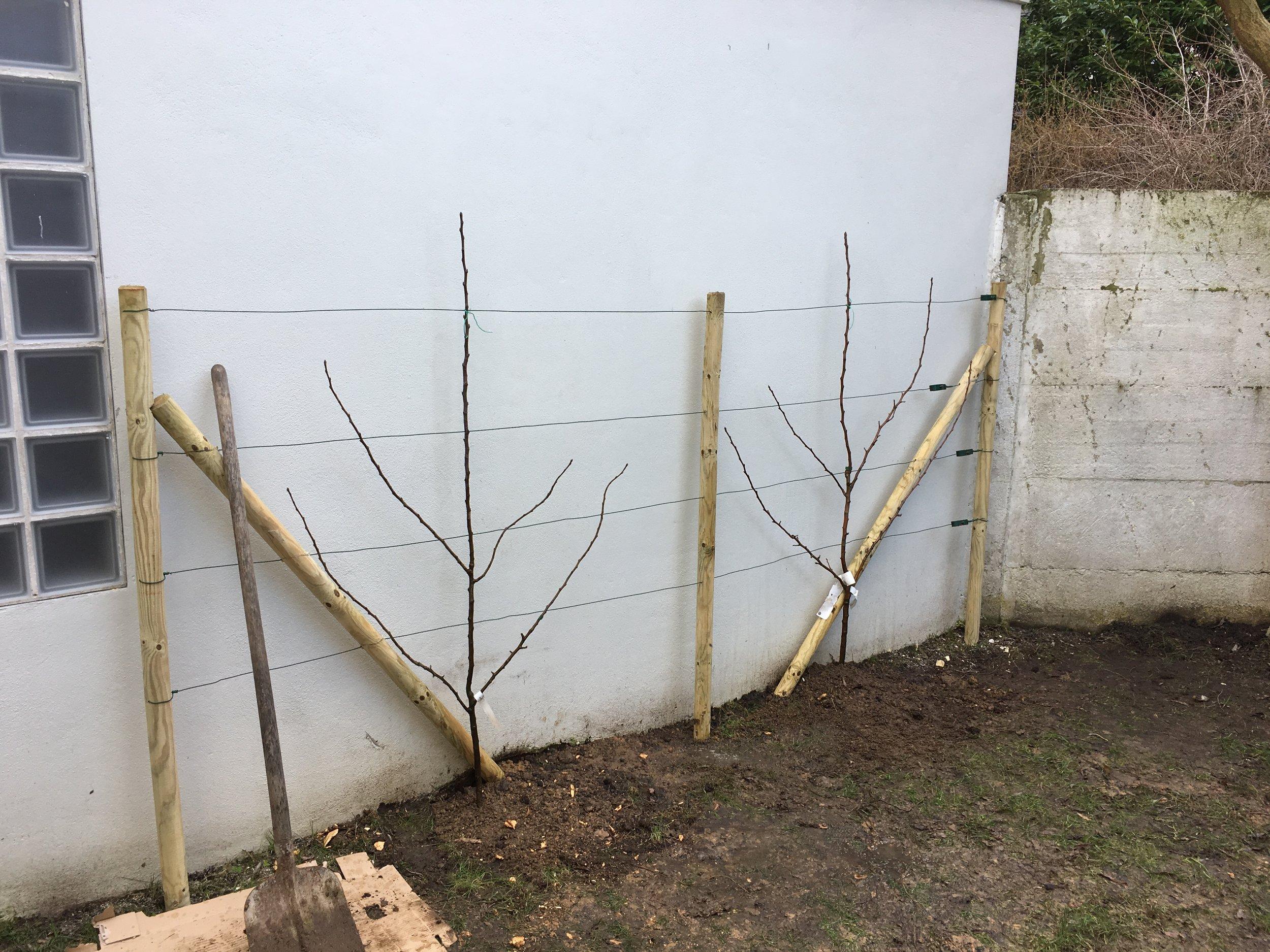 Poiriers palissés en verrier