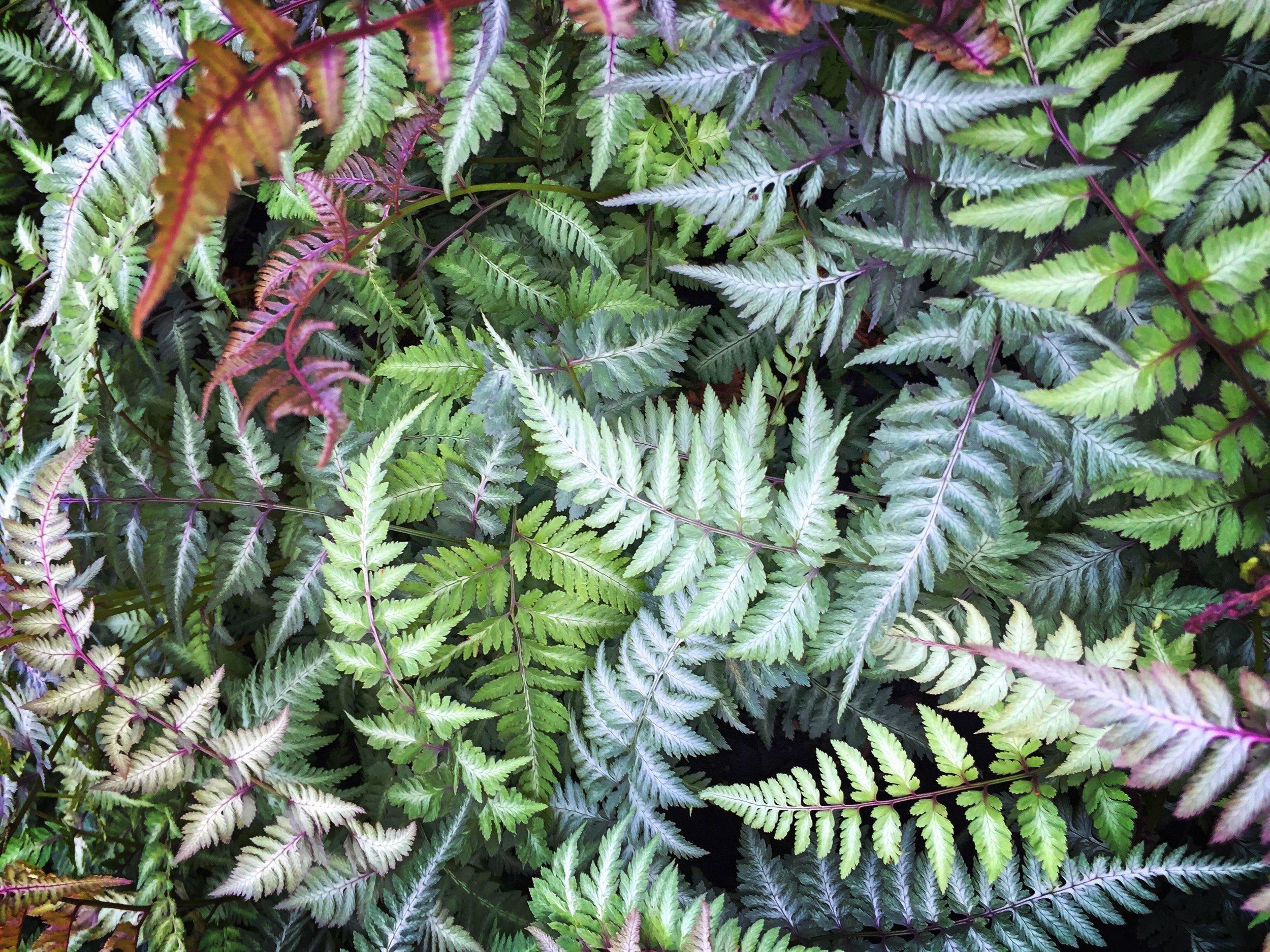 Athyrium niponicum pictum 3.JPG