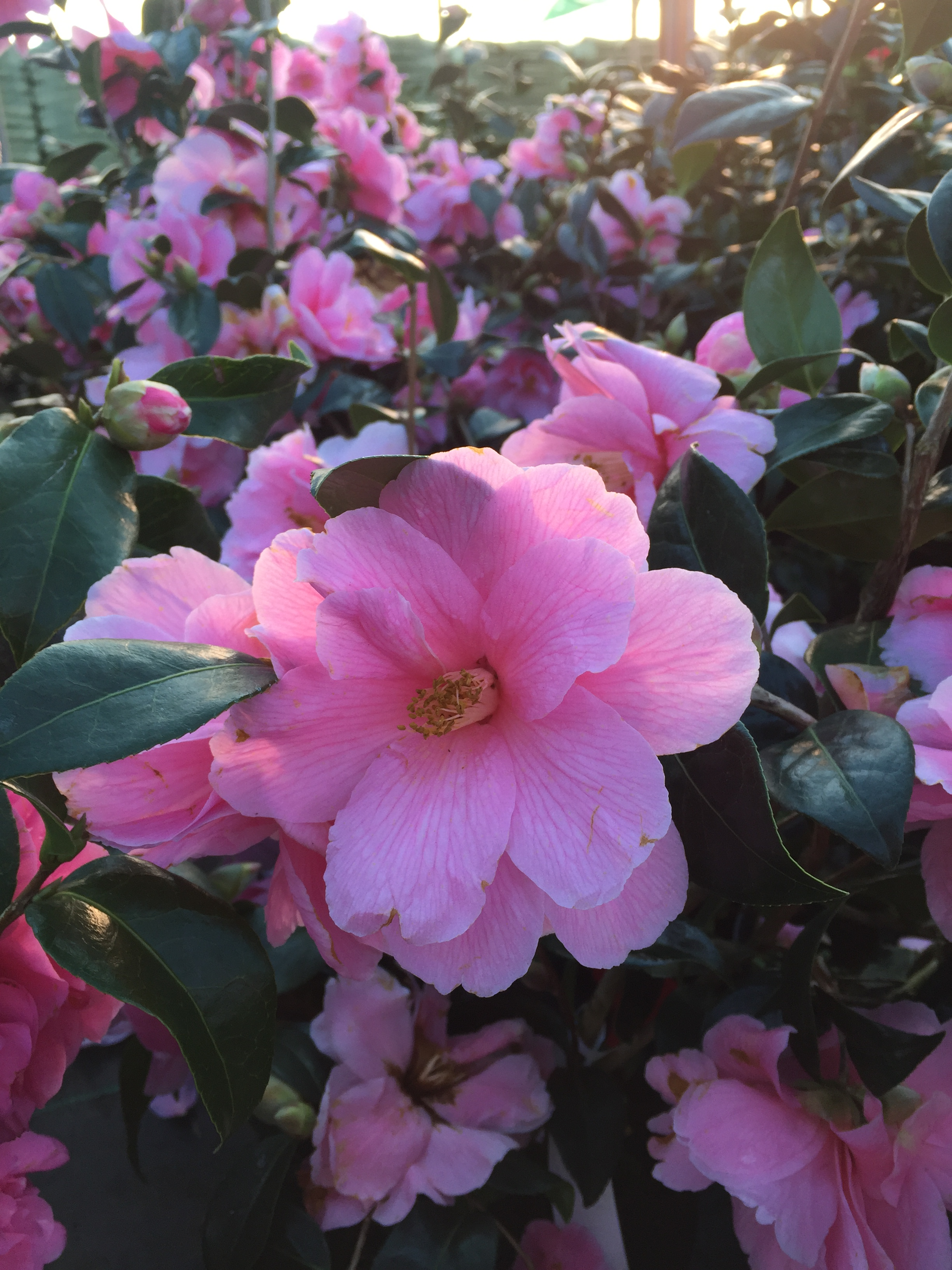 Chichester Trees and Shrubs Camellia × williamsii 'Donation'