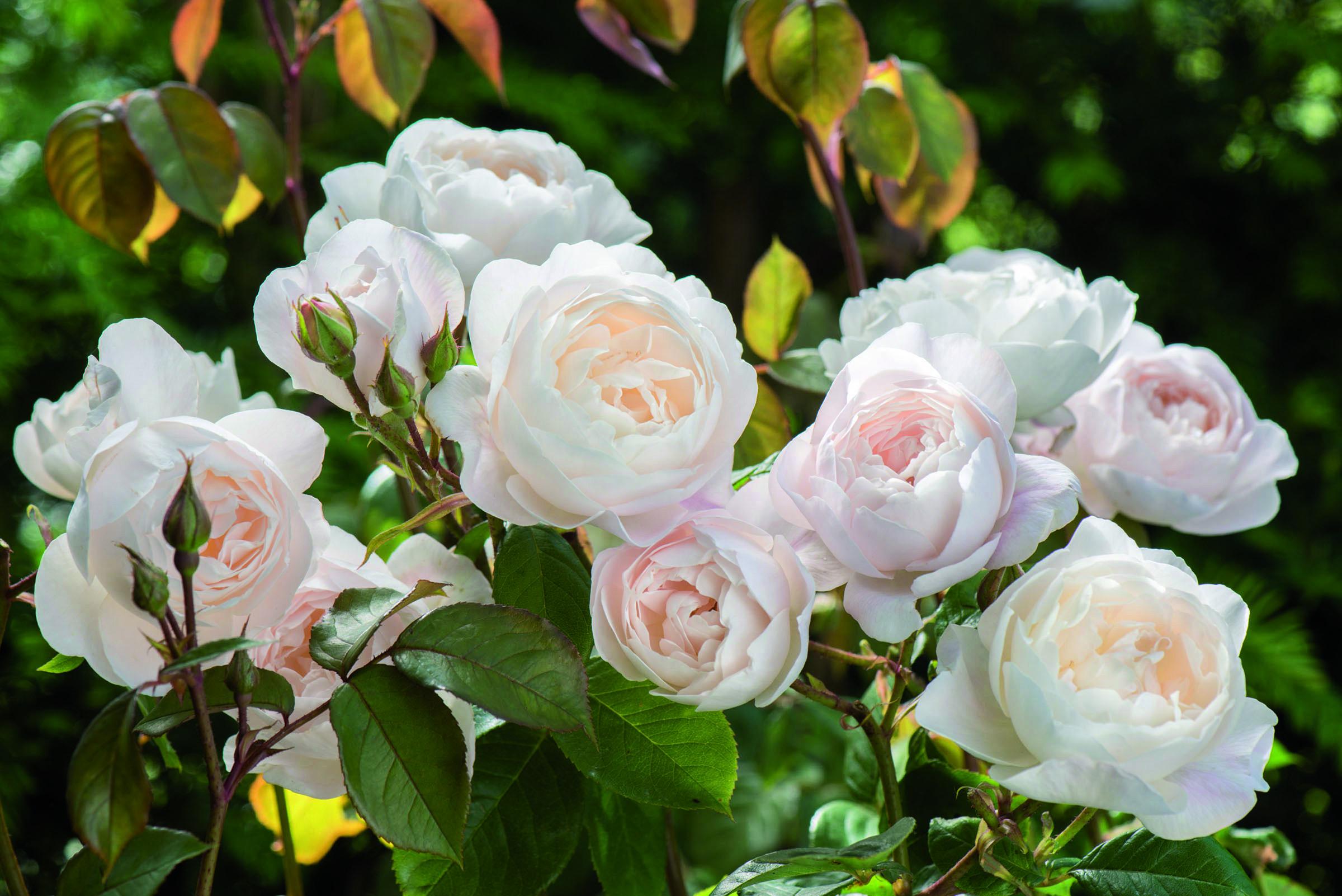 Rosa Desdemona (Auskindling).jpg