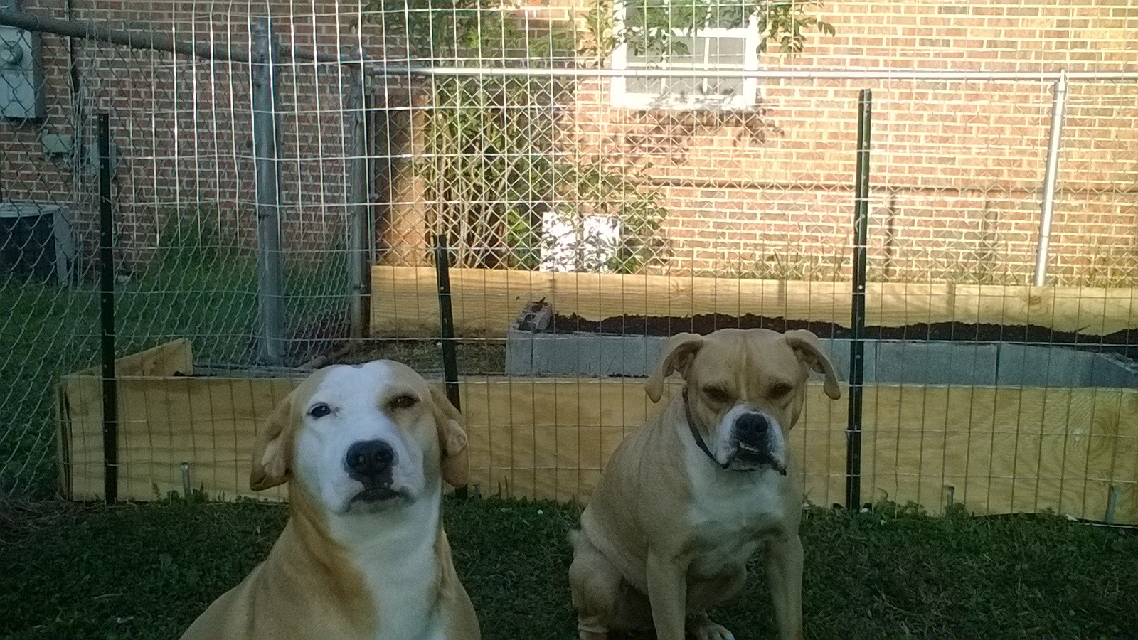 Butterscotch (on the left) and Bruiser (on the right) don't look too happy about being kept out of the garden!