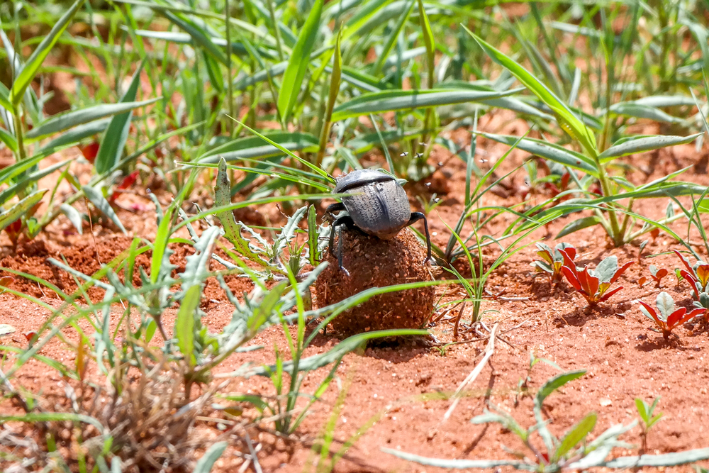 An African Dung Beetle - critical to maintaining a healthy ecosystem