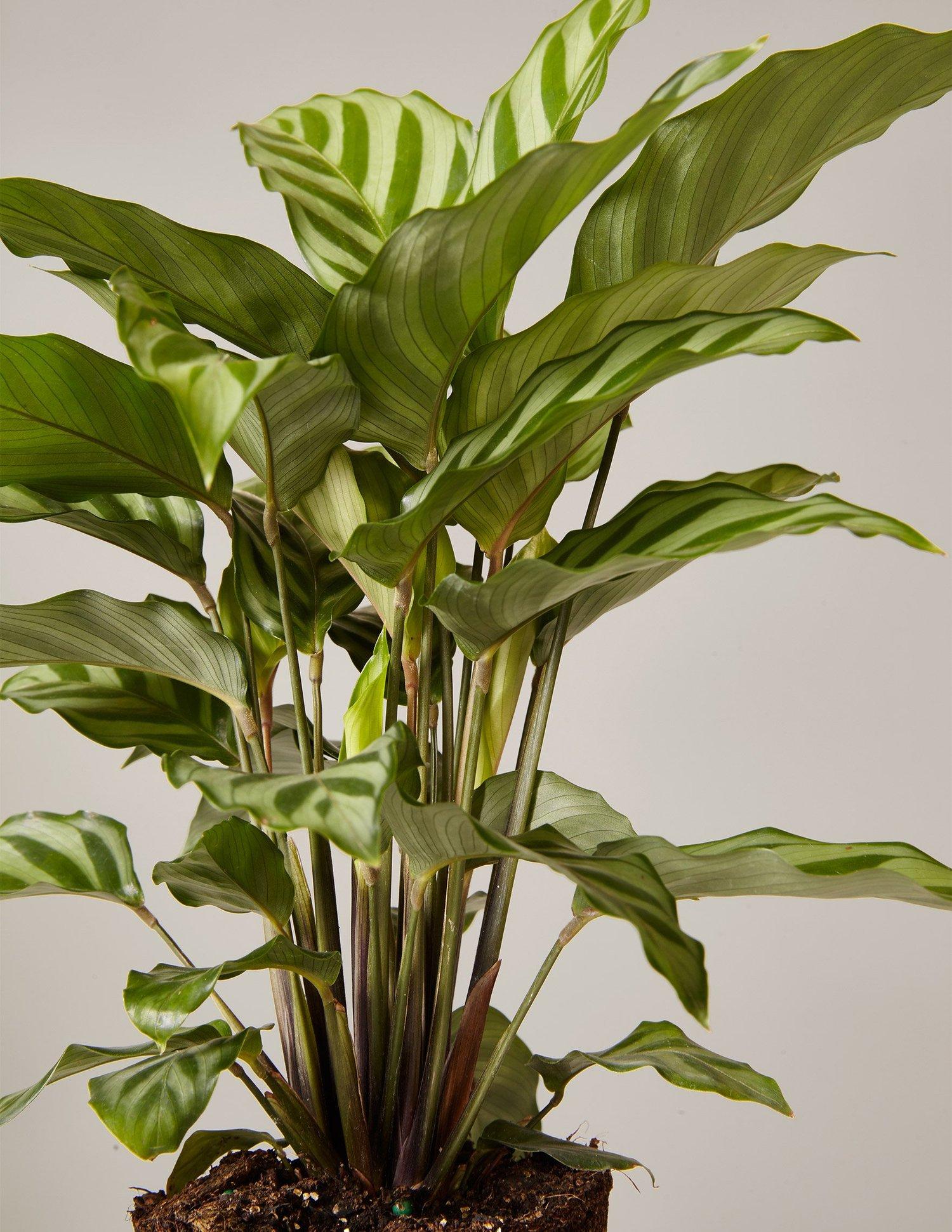 gallery_the-sill_calathea-plant-freddie_2_4_3ca3c9fe-6336-4b42-b4d3-c75910be72a1_1500x.progressive.jpg