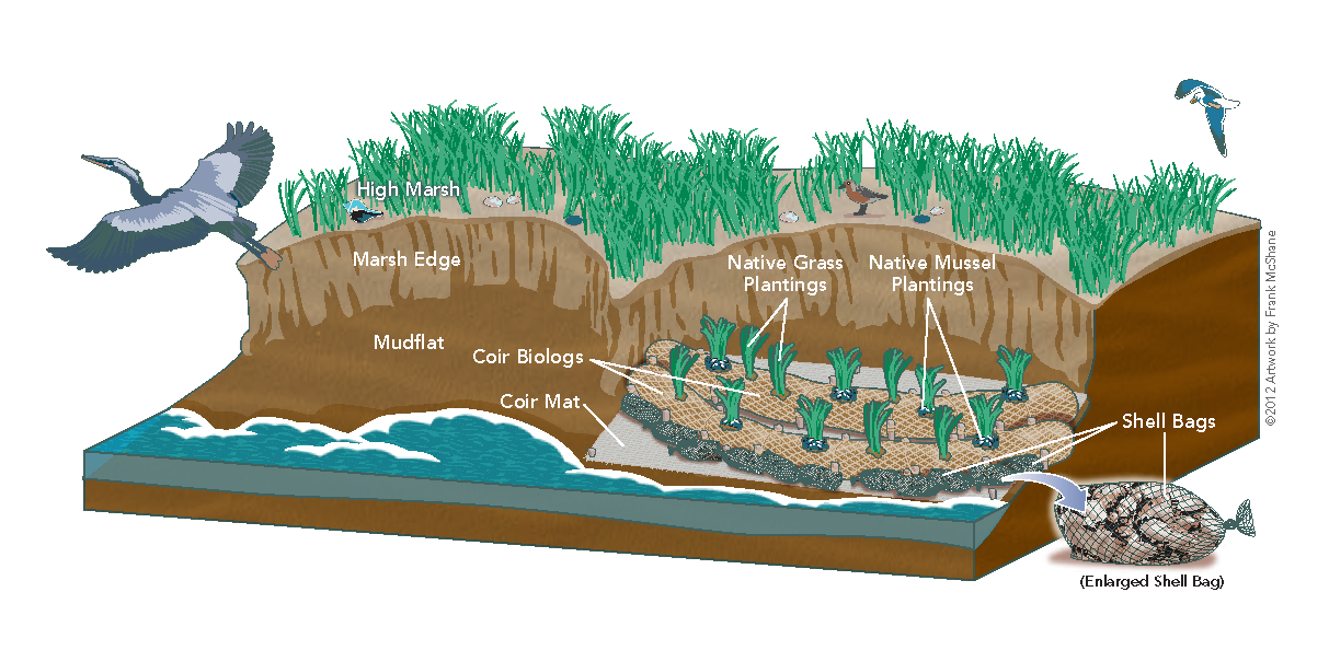 Living Shoreline Coir Log Illus for LISA.png