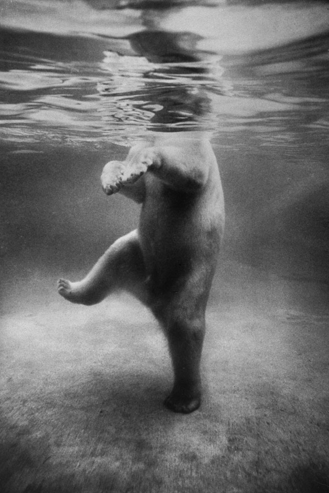 life :      A polar bear seen underwater at a London zoo in 1967.     (see more  here )