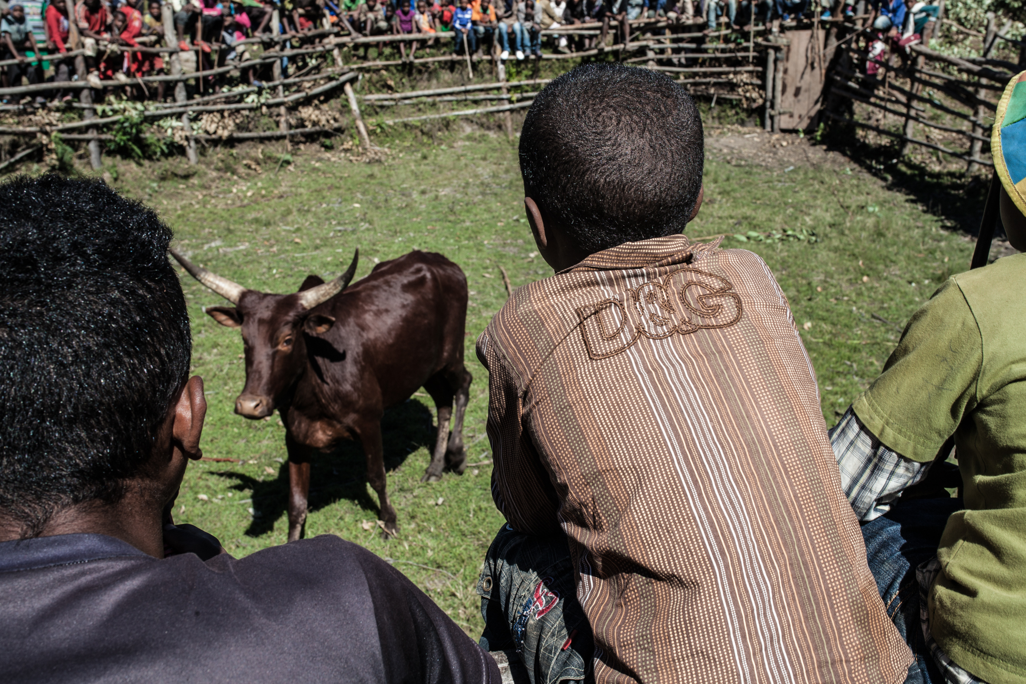 Champion zebu are released into the ring with an open challenge to anyone daring enough
