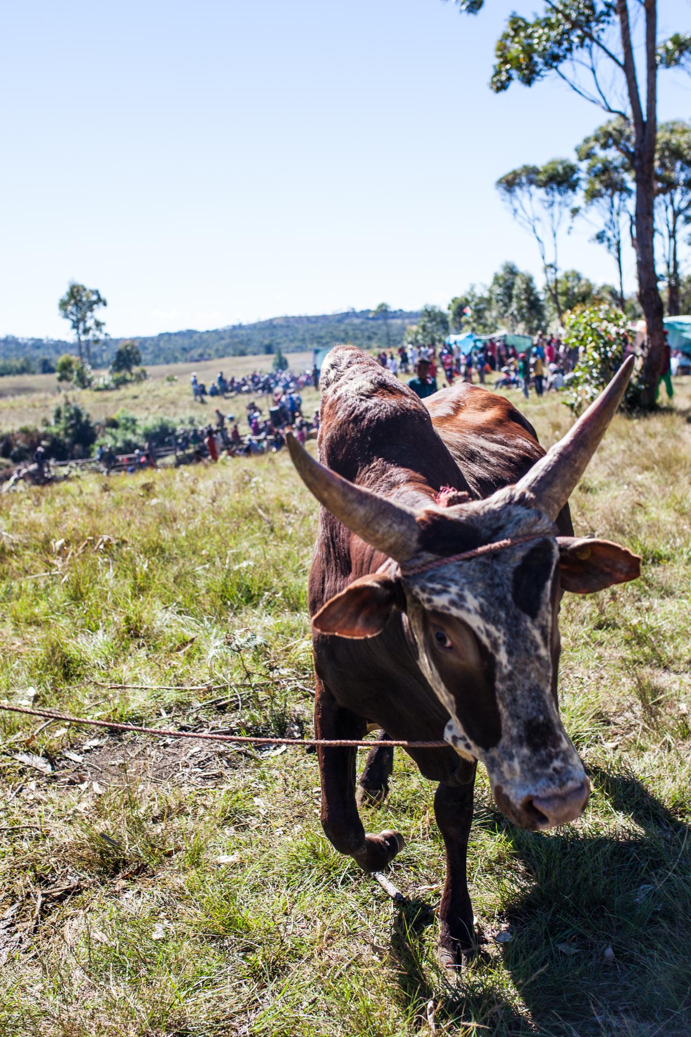 boy vs. Beast - Betsileo bull wrestling