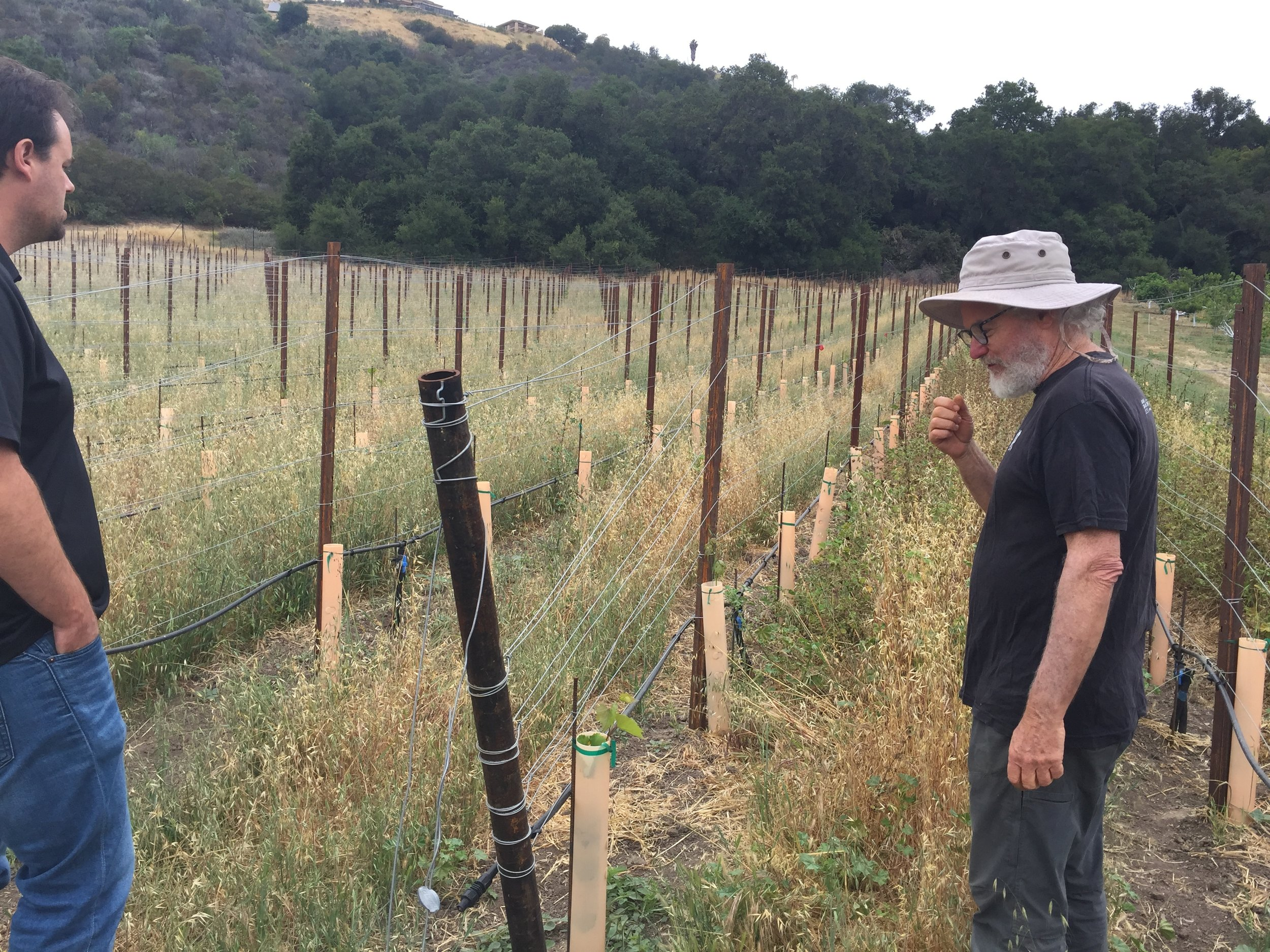 Tolmach's latest research project - a test vineyard with resistance to Pierce's Disease