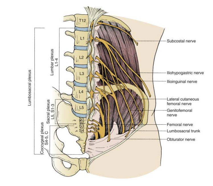 From Isaacs RE, Fessler RG. Lumbar and sacral spine. In: Benzel EC, ed.  Spine Surgery: Techniques, Complication Avoidance, and Management . 3rd ed. Philadelphia: Elsevier; 2012:359, Fig. 36.8.