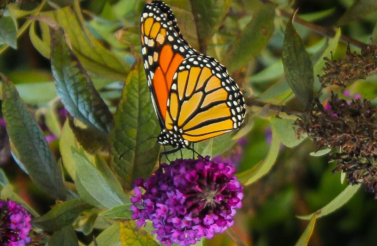 butterfly rev2 (1 of 1).jpg
