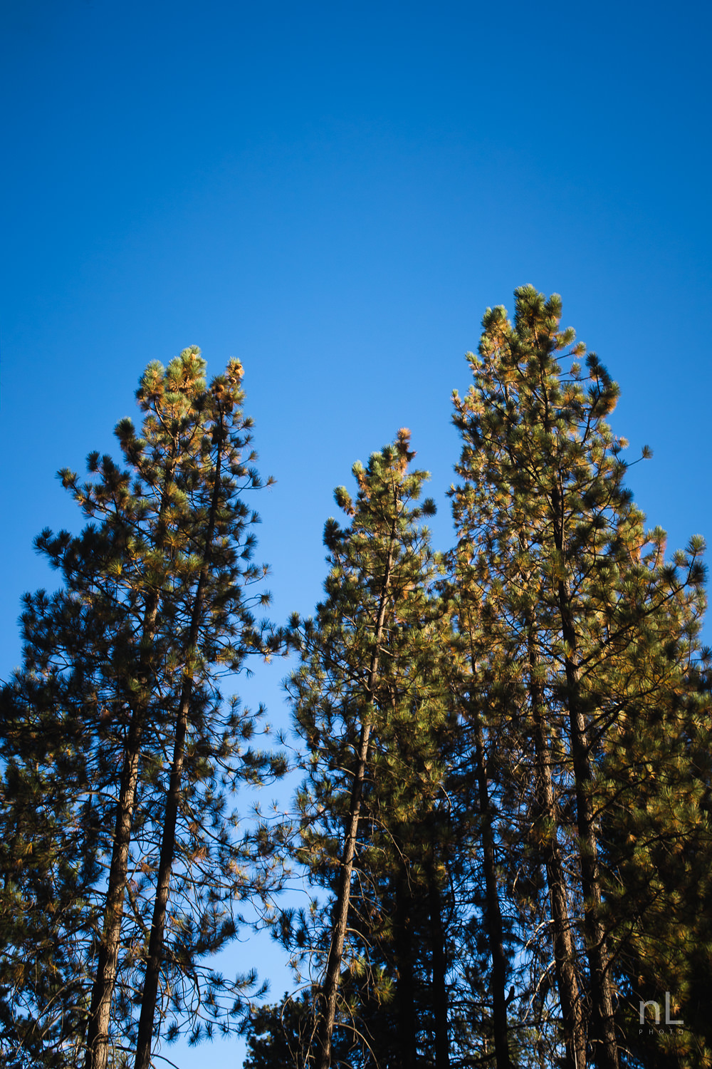 los-angeles-national-forest-engagement-photography-trees-blue-sky