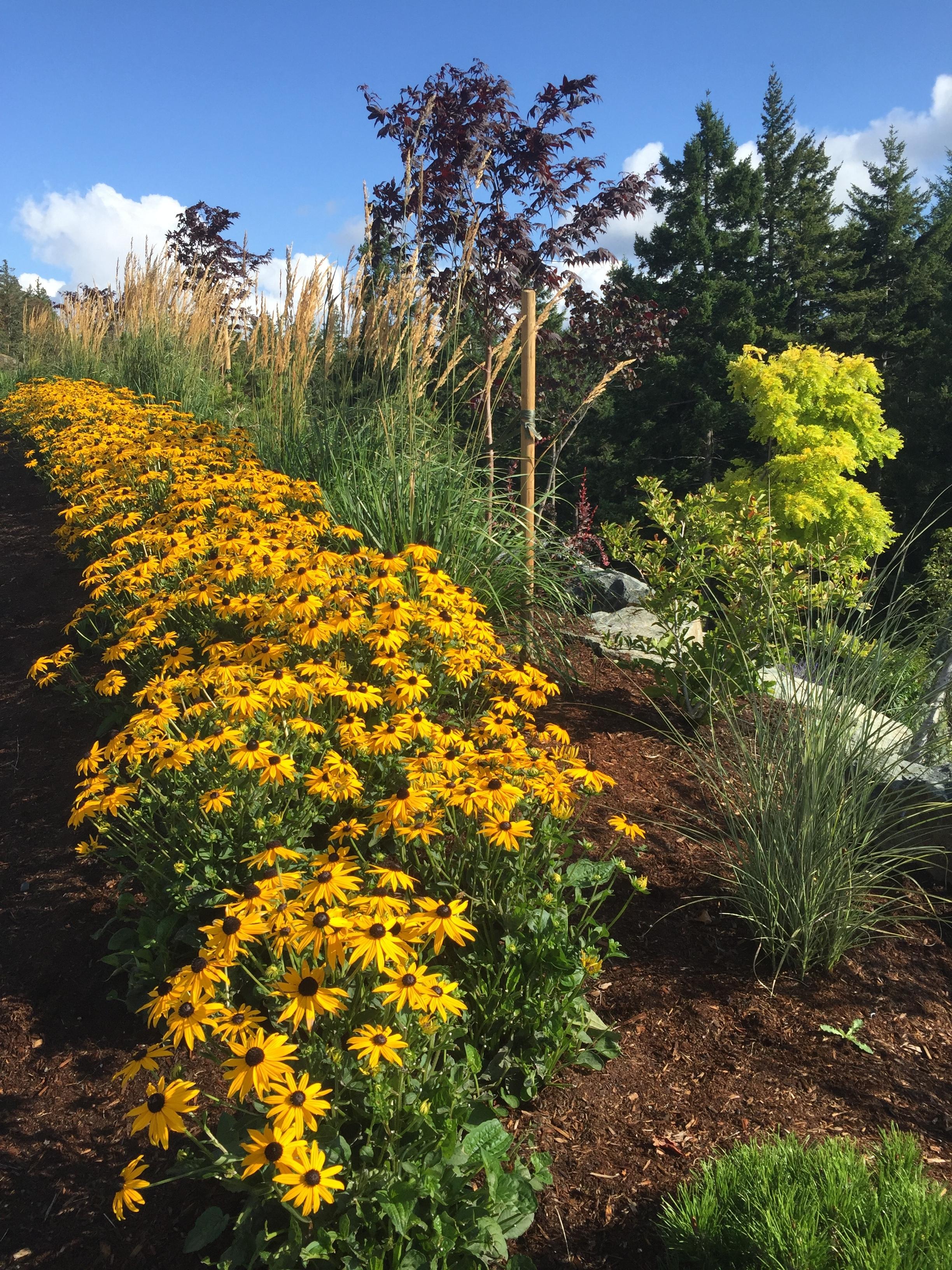 MustangLandscape-BC-Victoria-Garden-rudbeckia-longswath-planting.JPG