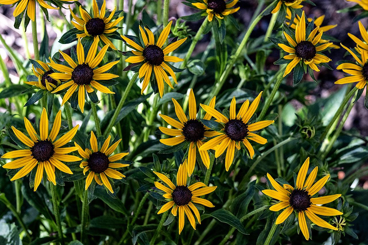 charming-simplicity-MustangLandscape-Victoria-BC-garden-sunflowers.jpg