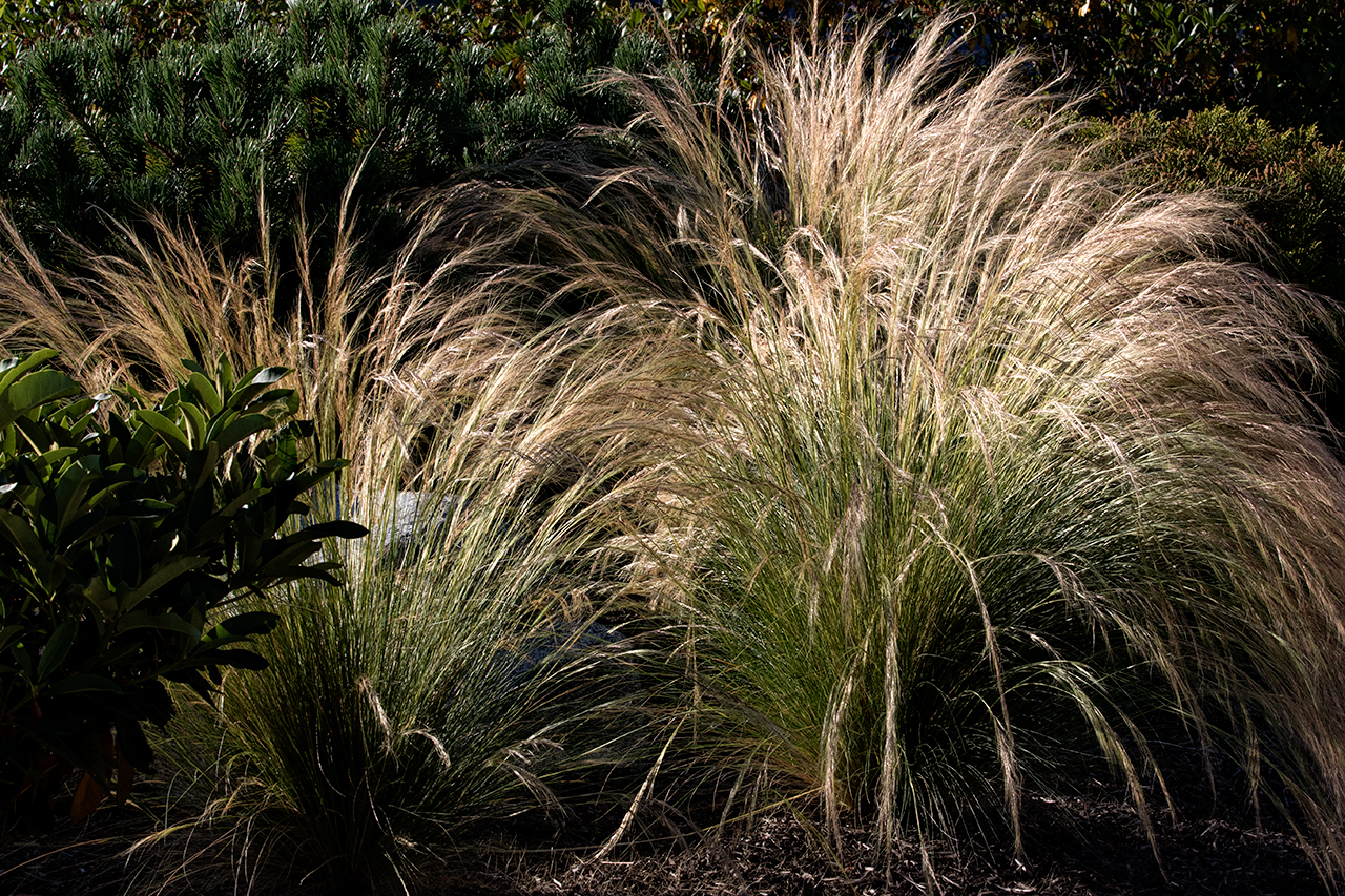 Beachside-Perennials-grasses--MustangLandscape-Victoria-BC-garden-11.jpg