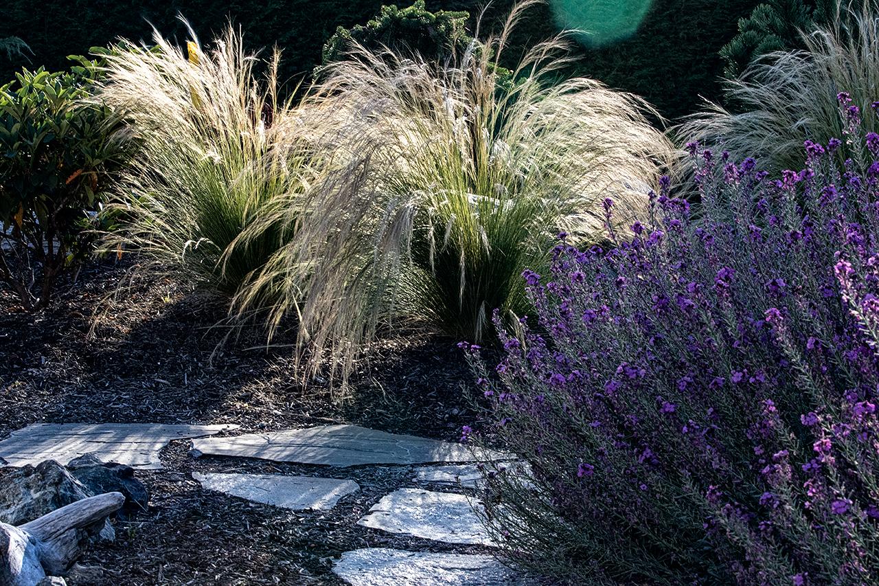 Beachside-Perennials-grasses--MustangLandscape-Victoria-BC-garden-installation.jpg