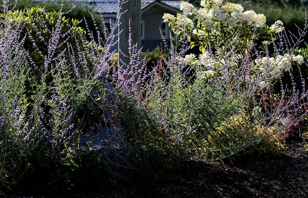 Beachside-Perennials-grasses--MustangLandscape-Victoria-BC-garden-14.jpg