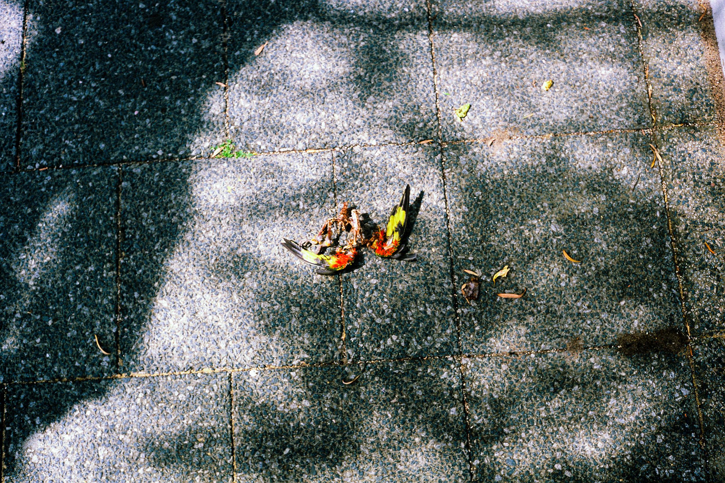 justin_tan_torres_australian_street_photography_bird_road_kill_carcass_perth_2015_12.jpg