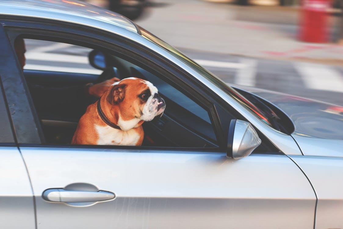 dog in car.jpeg