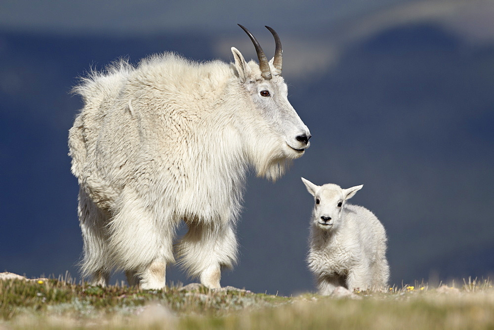 "I'm not ashamed to admit that I got distracted for 10 minutes by pictures of baby mountain goats looking for the Capricorn ""sea-goat."" I never did find that sea-goat. I have come to accept that."