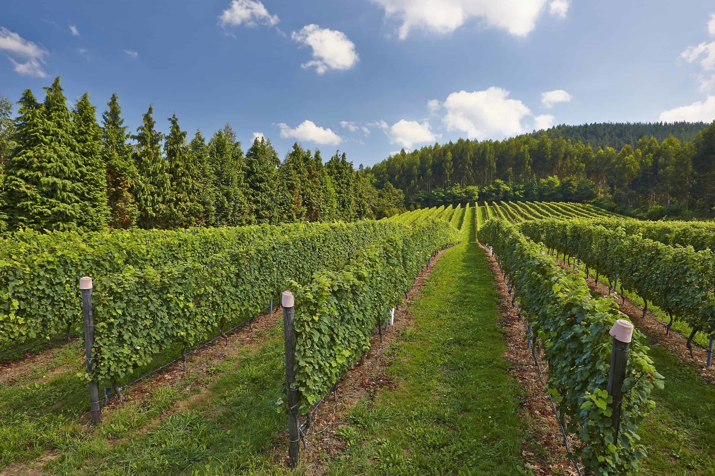 Itsasmendi vineyard.jpg
