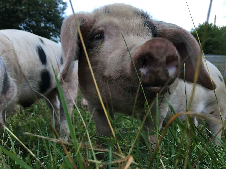 Free-range-pork-South-Wales.jpg