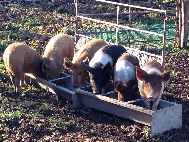 Rare-breed-pigs-Abergavenny-Sputh-Wales.jpg