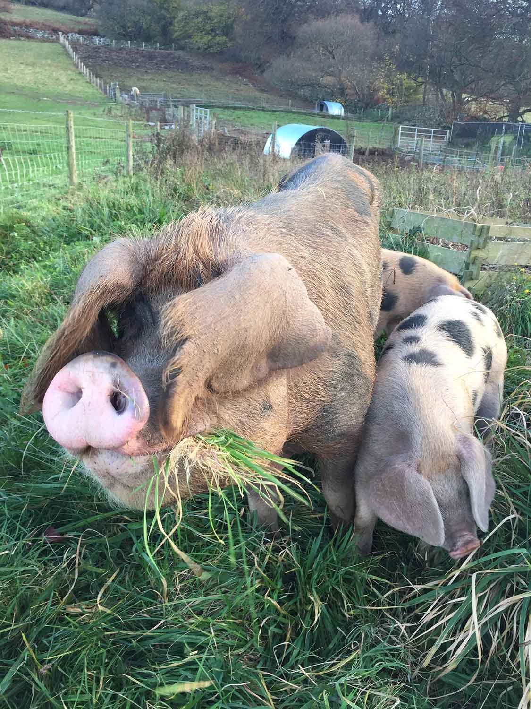 Free-range-pork-Monmouthshire.jpg