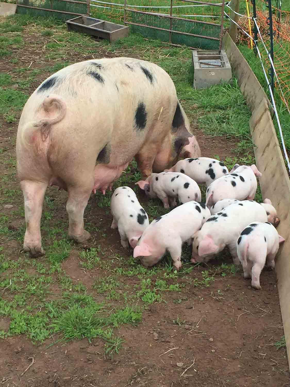 The-Decent-Company-free-range-pork-Abergavenny.jpg