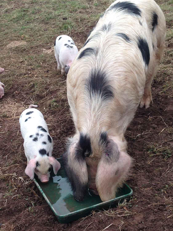 The-Decent-Company-pigs.jpg