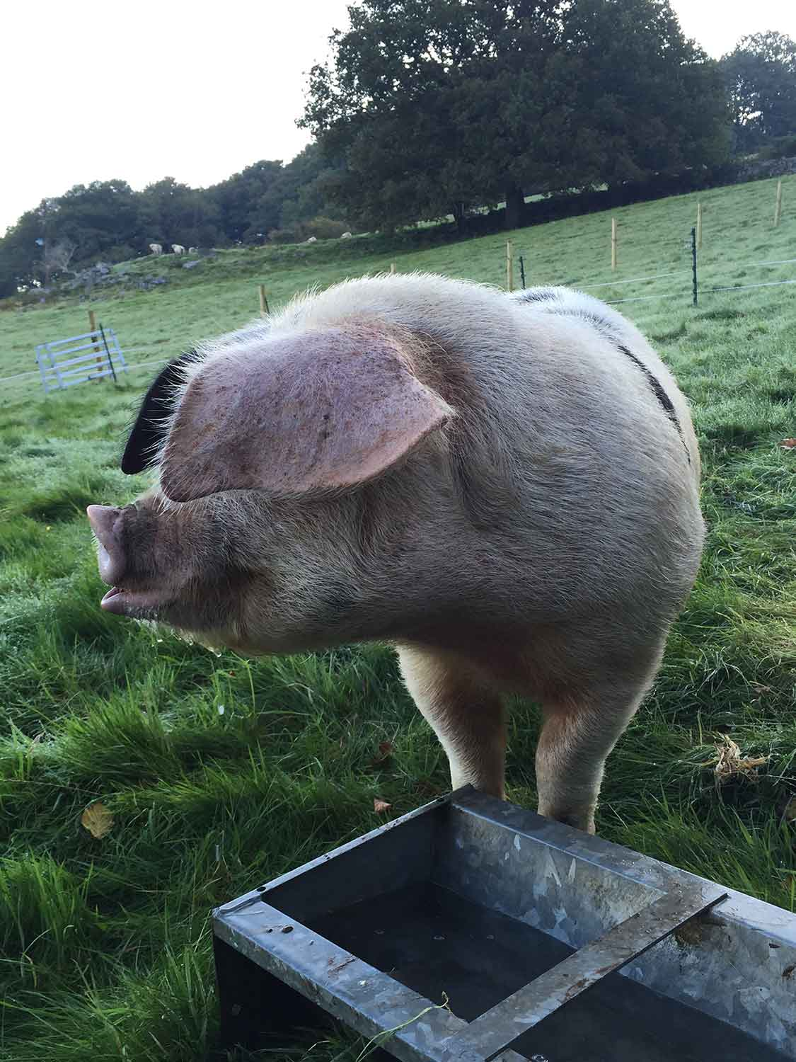 UK-native-breed-pigs-at-The-Decent-Company-in-Abergavenny.jpg