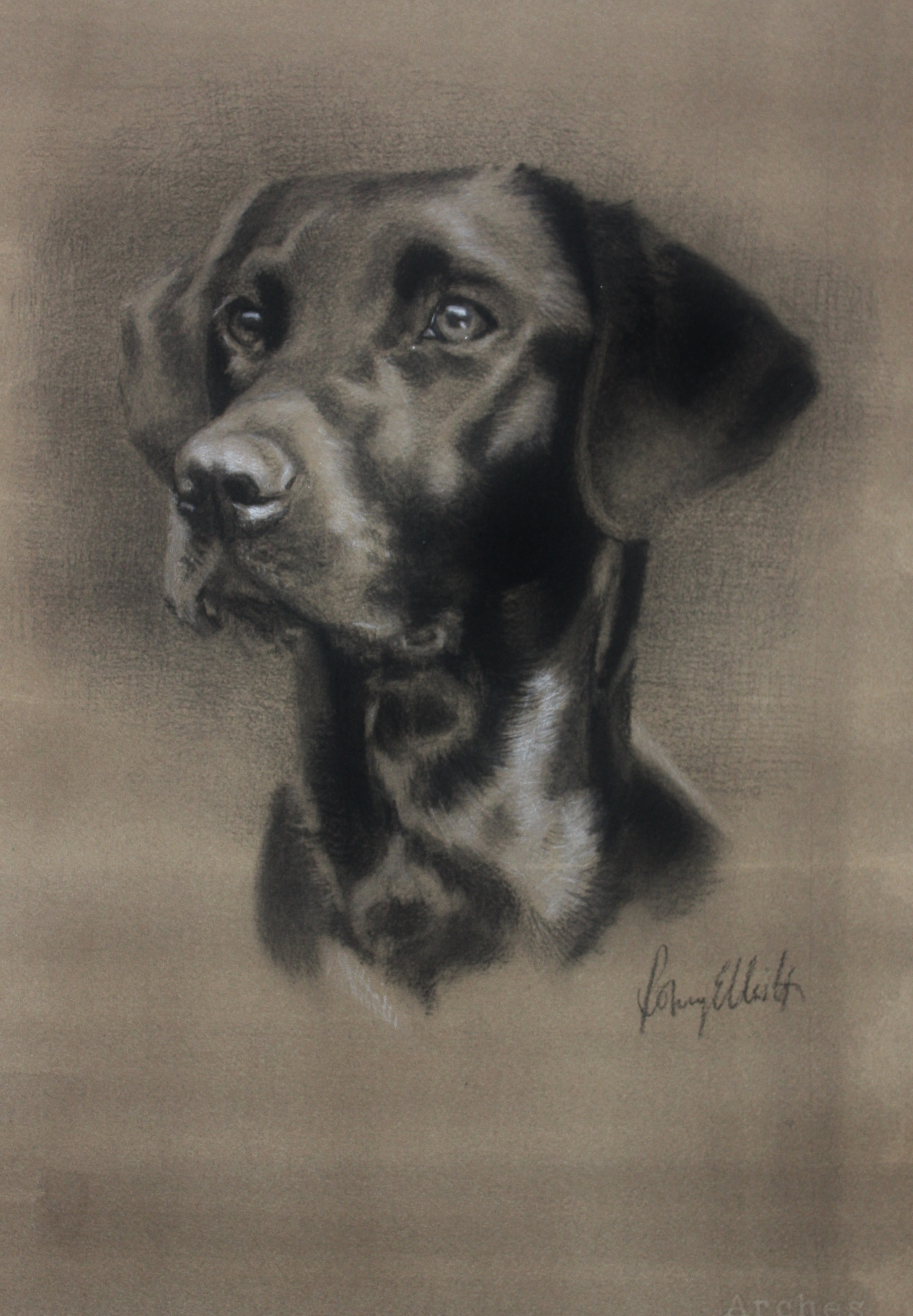 Charcoal and White Chalk, Black Labrador. 16x20 inch.JPG