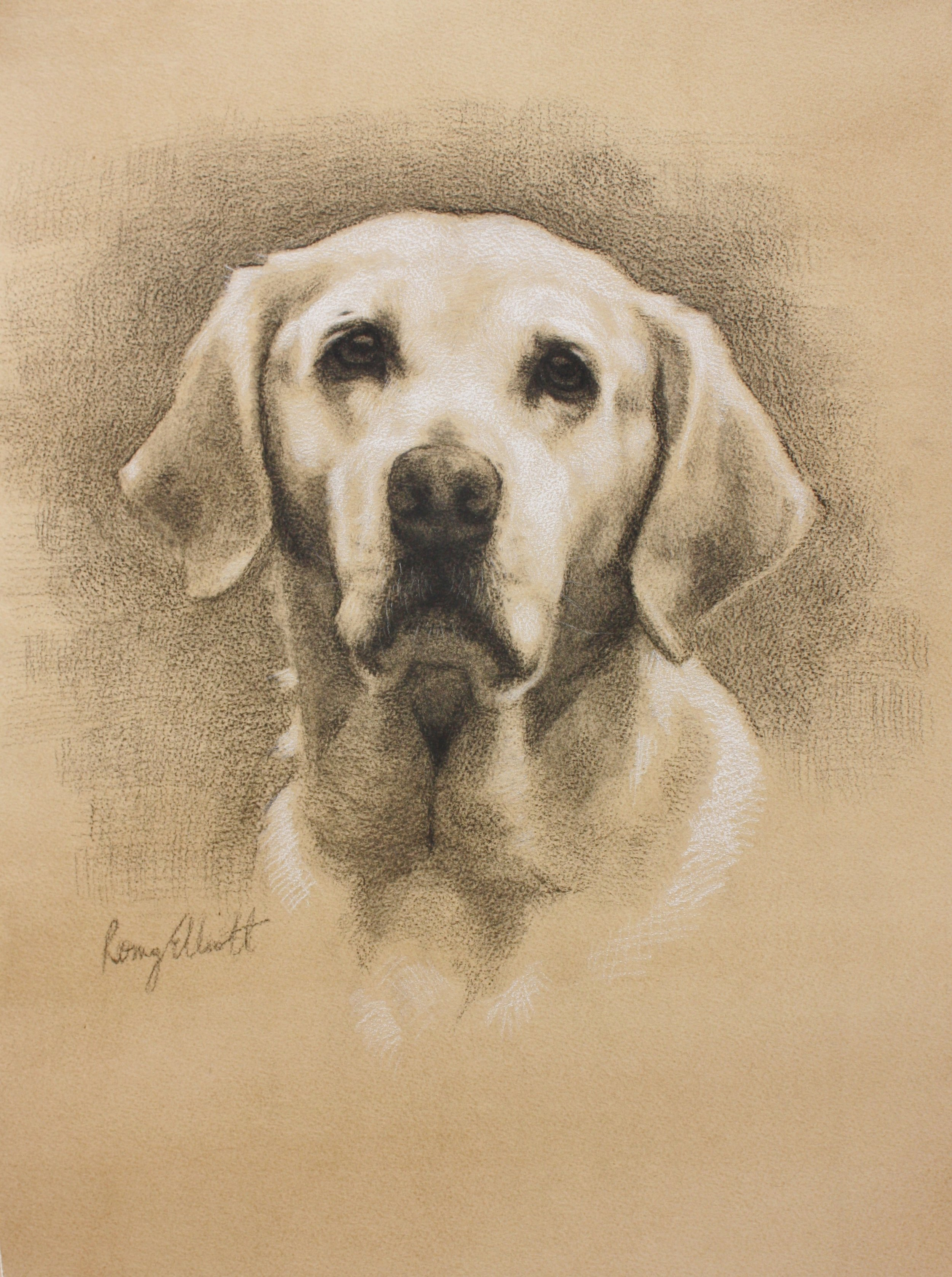 Charcoal and white chalk, Golden Labrador, 16x20inch.JPG
