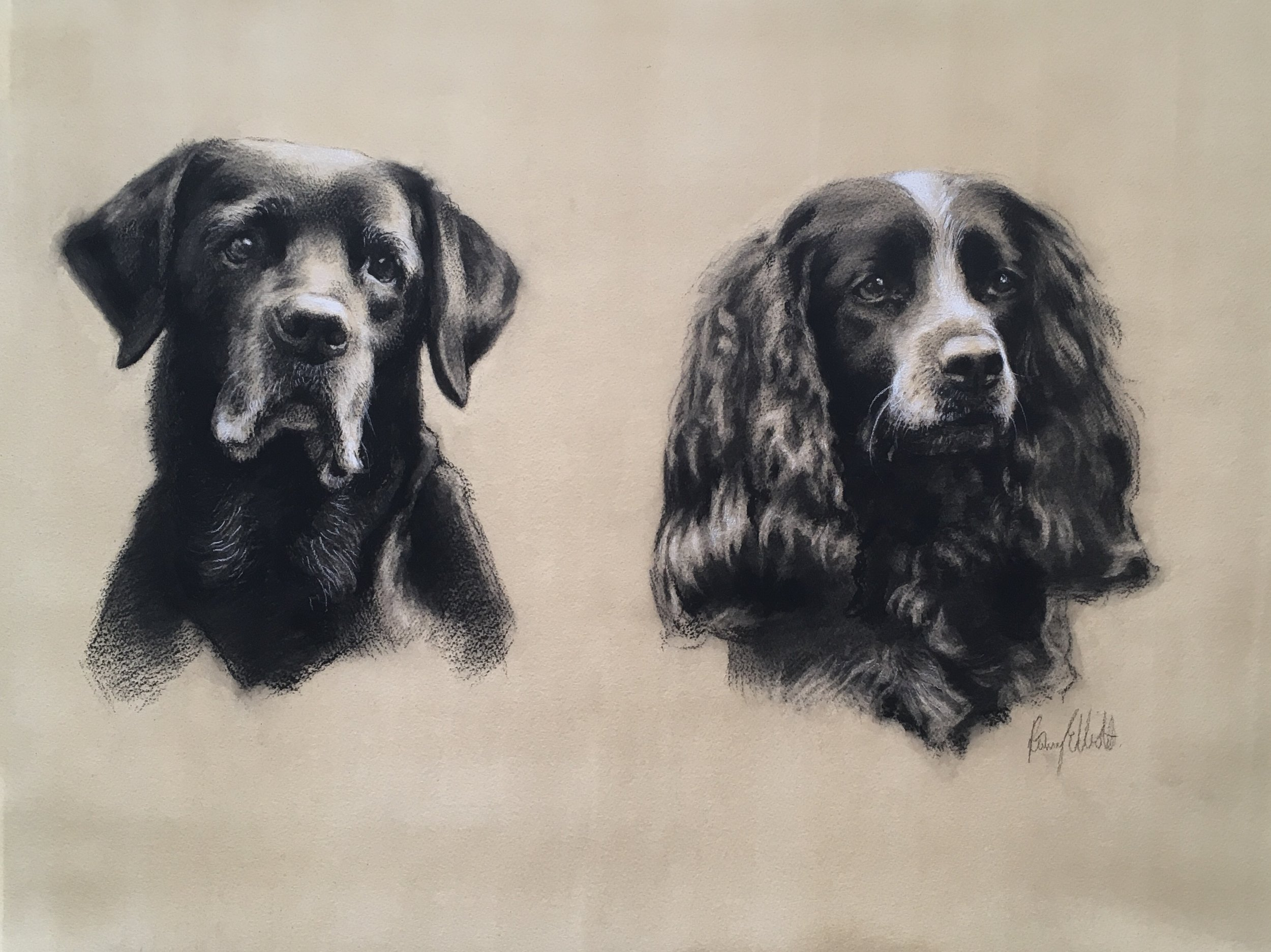 Black Labrador and Sprocker Spaniel, Jess and Molly. Charcoal and chalk.