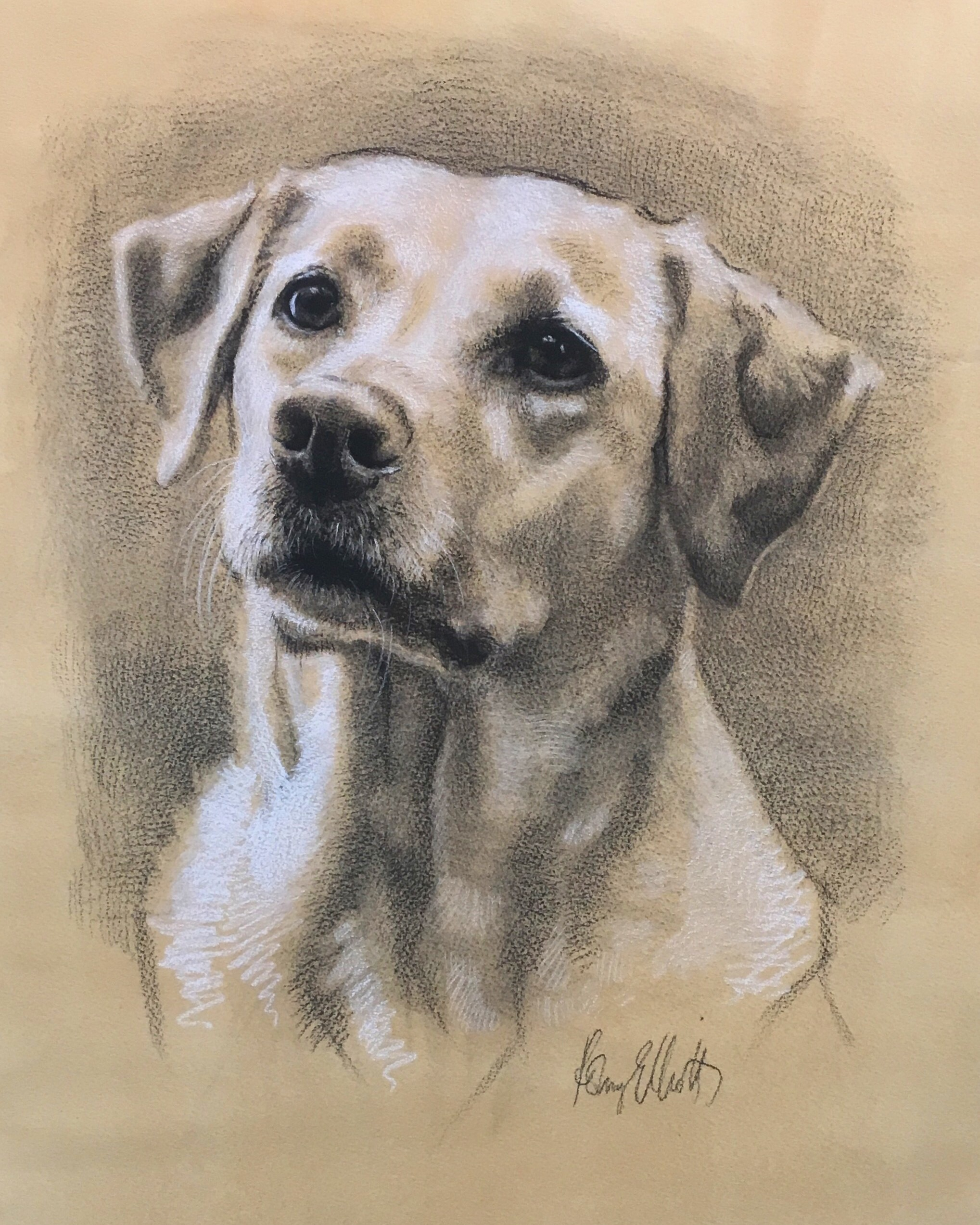 Yellow Labrador, Bear. Charcoal and chalk