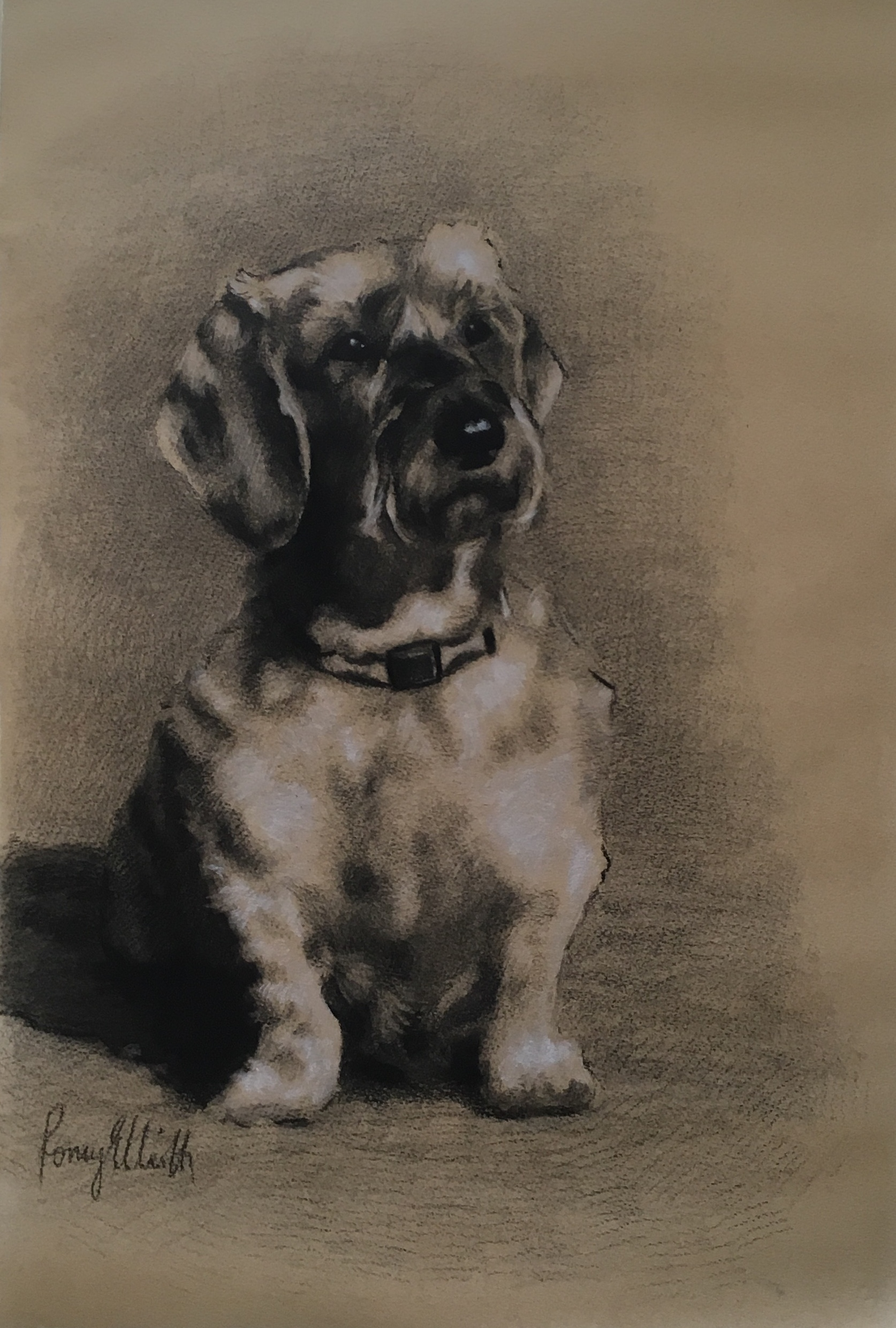 Wire haired Dachshund, Ottie. Charcoal and chalk