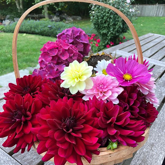 Late summer cuttings.  #bainbridgeisland #dahlias #cosmos #hydrangea #flowergirl #athomeonbainbridge