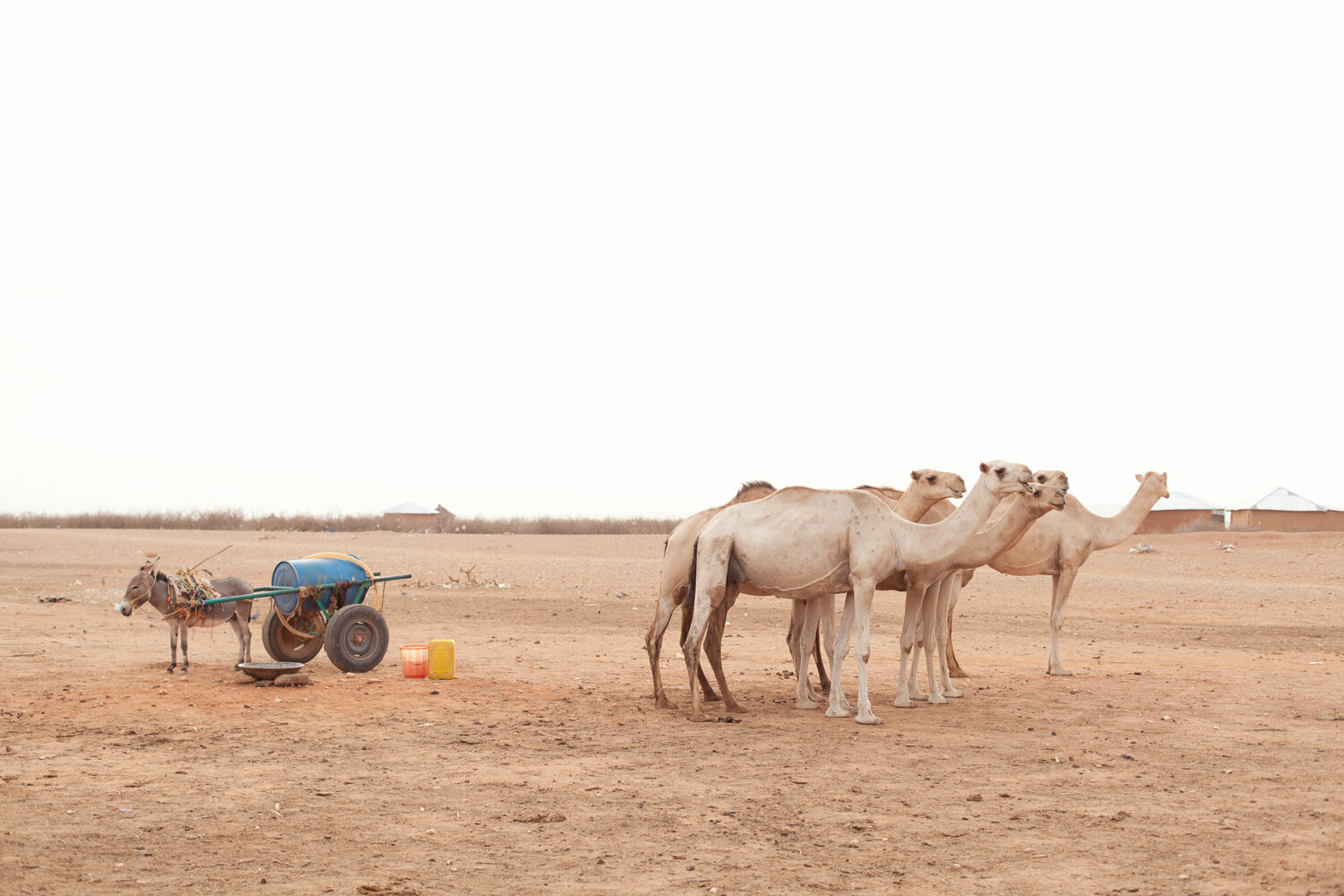 A donkey carting water and a herd of camels in Gode, Ethiopia.