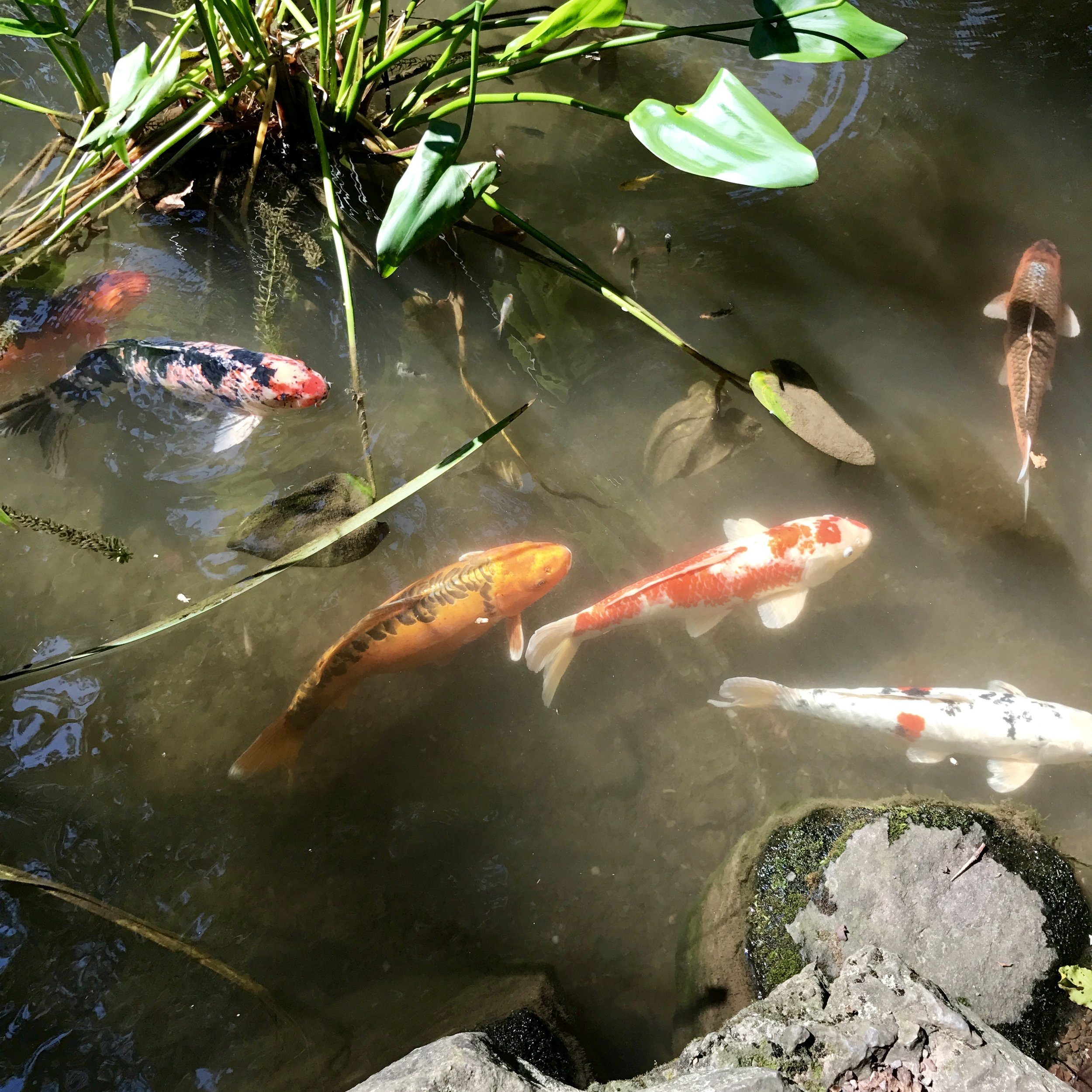 Random fact from last night's tuck in/bedtime reading: Koi can live up to 200 years. WTF