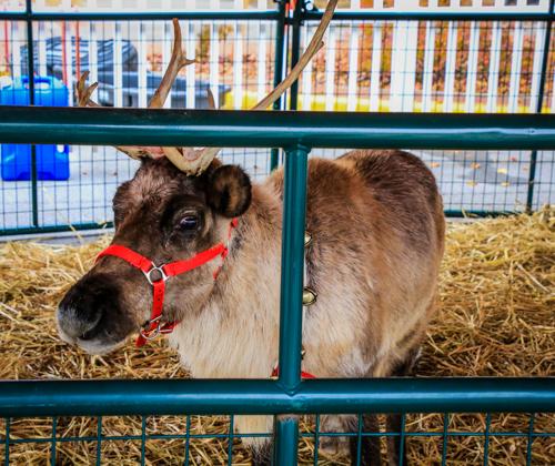 Santa's Reindeer (Prancer?) - Photo by Dale R. Carlson