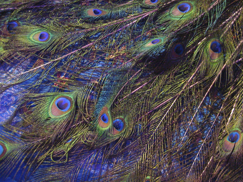 peacock-feathers.jpg