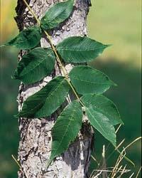 Image1 Brown ash.jpg