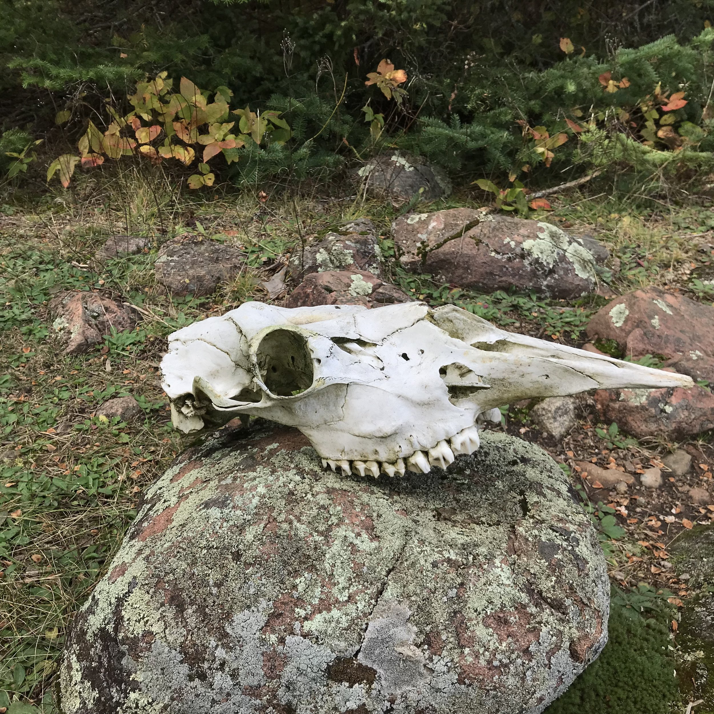 We believe that it is a moose skull, but no one was able to confirm.