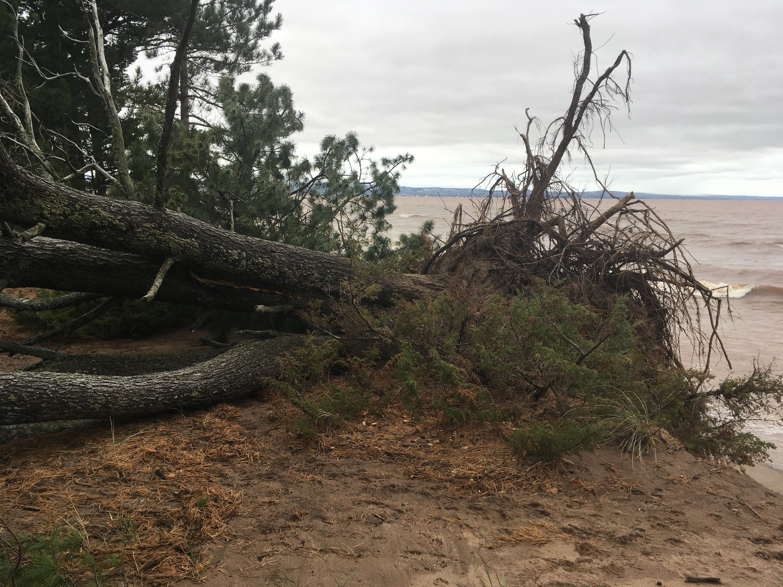 High waves and lake levels cause fallen pine trees on Park Point. Photo courtesy of Catherine Winter