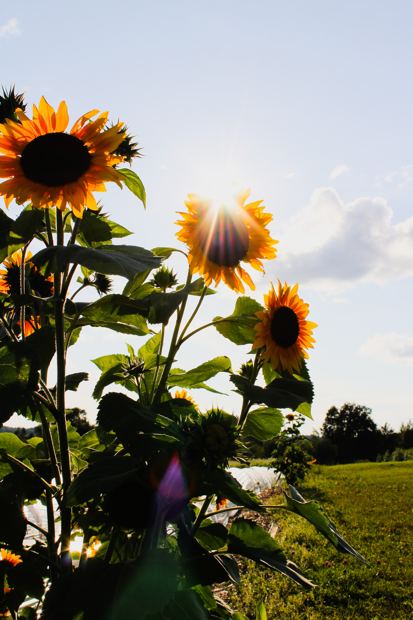 Sunflowers growing tall on the UMD SAP Farm fields. Photo: Morgan Pint