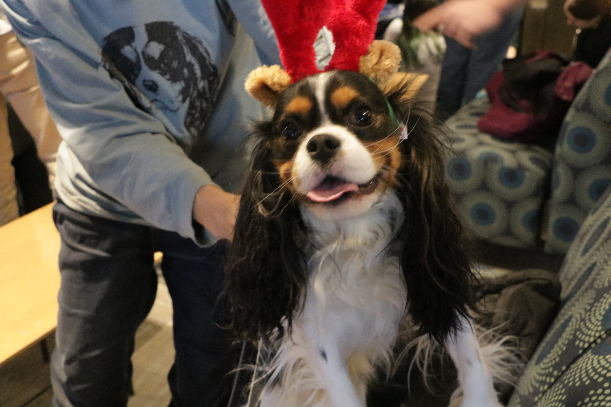 Energetic Charmer is donning reindeer antlers for the December PAWS event. Photo by Ren Friemann
